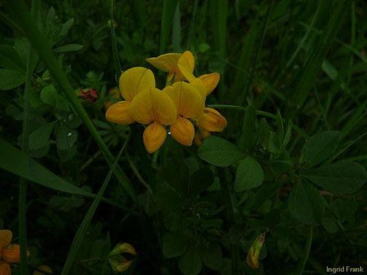 16.05.2010-Lotus corniculatus - Gewöhnlicher Hornklee