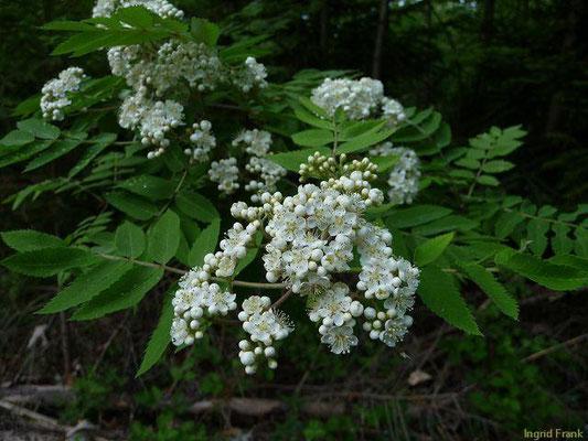 Sorbus aucuparia / Eberesche, Vogelbeerbaum