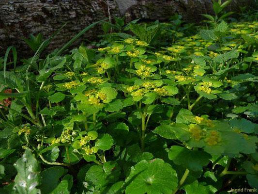 Chrysoplenium alternifolium / Wechselblättriges Milzkraut