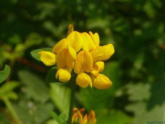 Lotus uliginosus - Sumpf-Hornklee