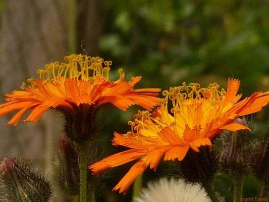 17.06.2012-Hieracium aurantiacum - Orangerotes Habichtskraut
