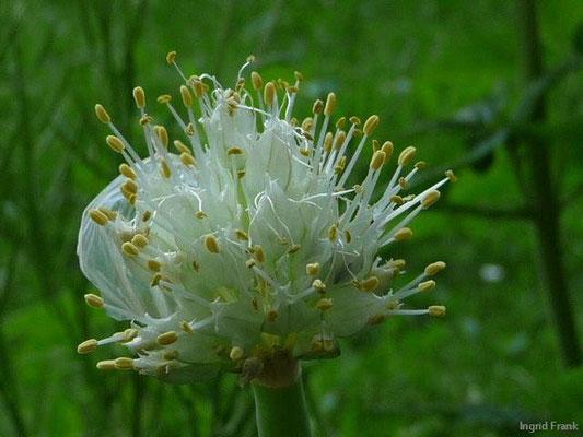 Allium fistulosum - Winter-Zwiebel
