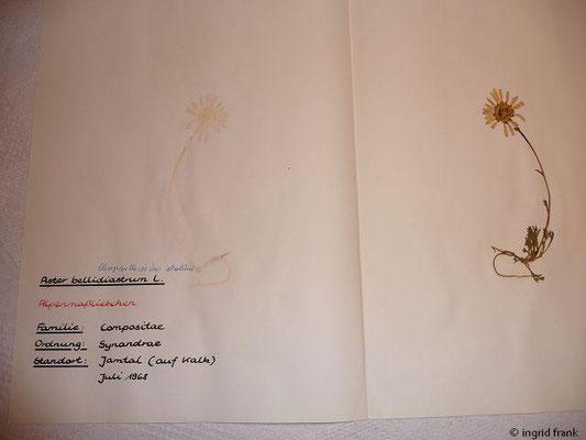 (125) Chrysanthemum atratum - Sägeblättrige Wucherblume