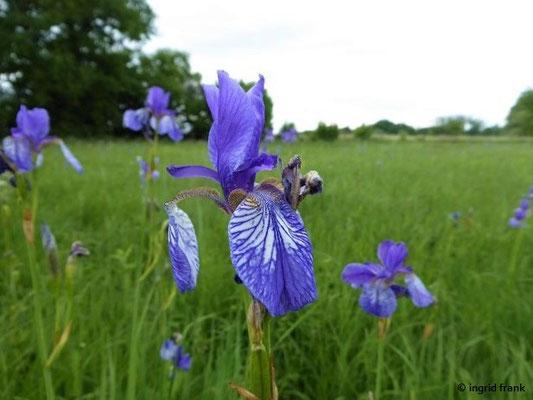 Iris sibirica - Sibirische Schwertlilie