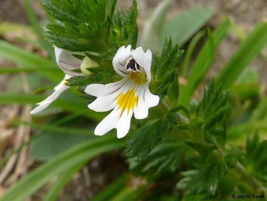 Gewöhnlicher Echter Augentrost / Euphrasia officinalis ssp. rostkoviana
