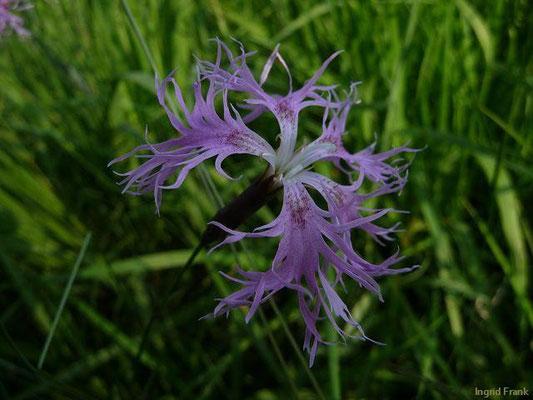 11.06.2010-Dianthus superbus - Prachtnelke