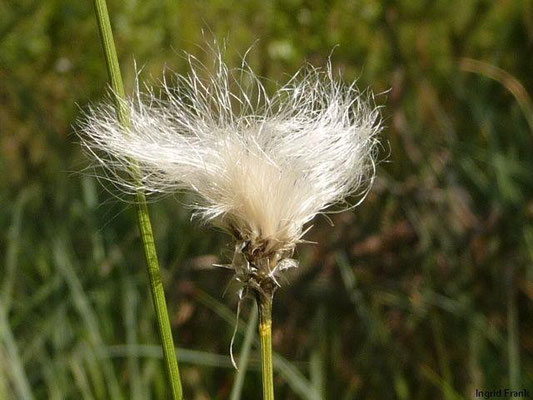Eriophorum vaginatum - Scheiden-Wollgras
