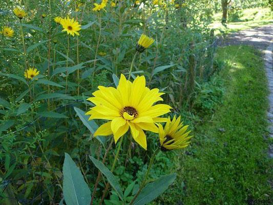 03.10.2010-Helianthus pauciflorus - Steife Sonnenblume