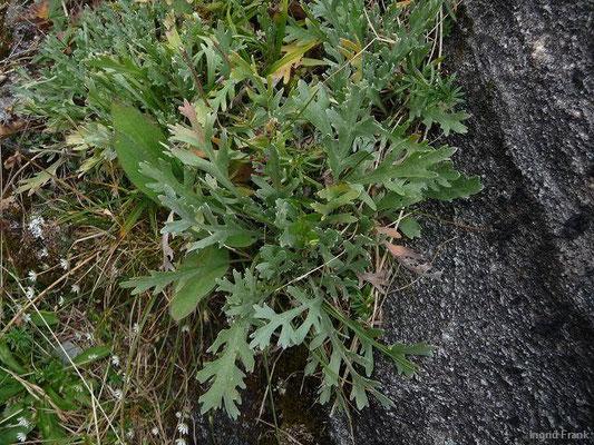 Achillea clavenae - Weiße Schafgarbe, Steinraute, Weißer Speik