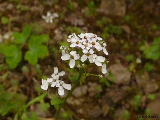 Iberis amara - Bittere Schleifenblume (Botanischer Garten Universität Heidelberg)