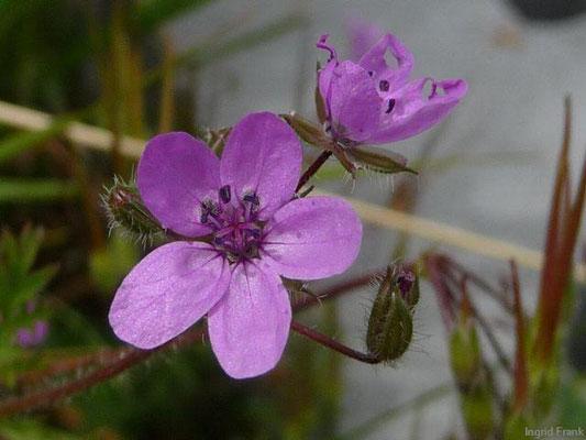Erodium cicutarium - Gewöhnlicher Reiherschnabel