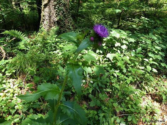 Carduus personata - Kletten-Distel im Argen-Auwald