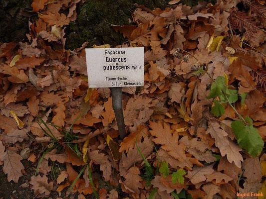 Quercus pubescens / Flaum-Eiche (Botanischer Garten Leipzig)