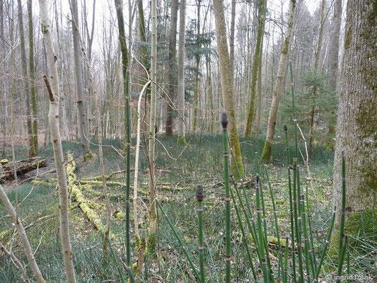 Winter-Schachtelhalm - Equisetum hyemale