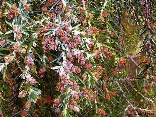 Juniperus cedrus ssp. cedrus - Zedern-Wacholder    VIII-I  (fremdländische Pflanze; Kanaren-Endemit)