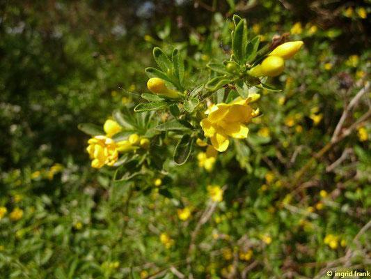 Jasminum fruticans - Strauchiger Jasmin    VII-IX  (Botanischer Garten Berlin)