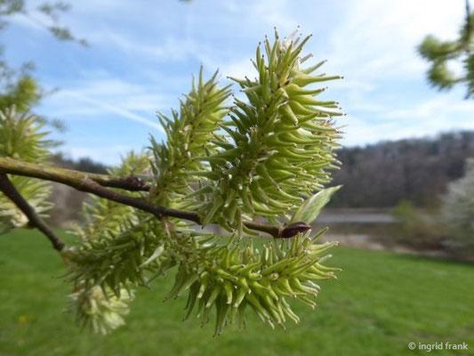 Salix caprea - Sal-Weide (weibliche Kätzchen)