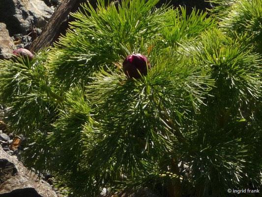 Paeonia tenuifolia - Netzblatt-Pfingstrose