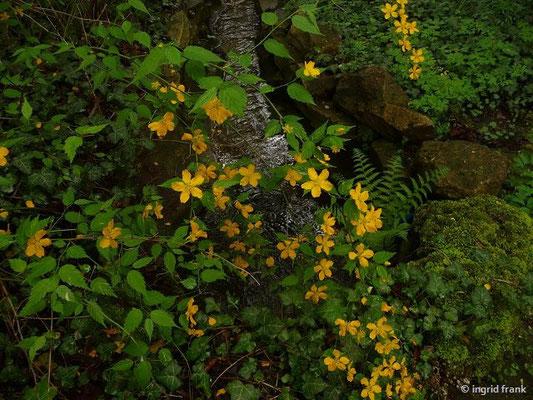 Kerria japonica - Japanisches Goldröschen, Kerrie