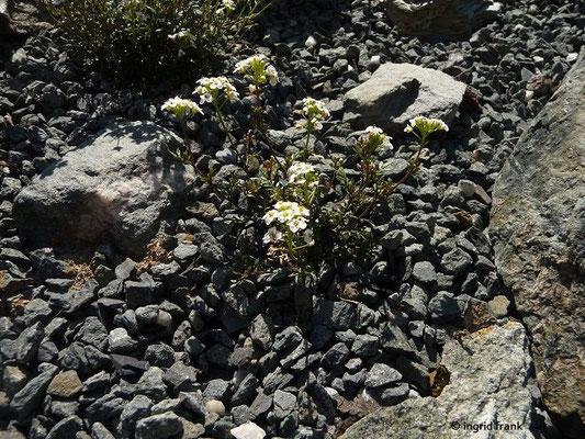 Hornungia alpina - Alpen-Gämskresse