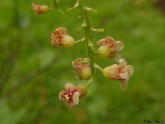 Ribes petraeum - Felsen-Johannisbeere