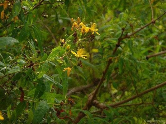Hypericum canariense - Kanaren-Johanniskraut