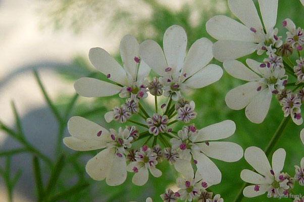 Coriandrum sativum - Echter Koriander
