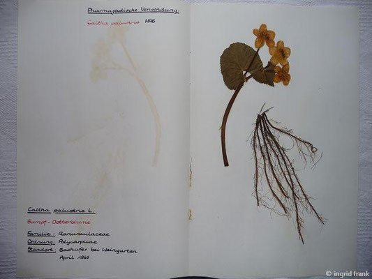(1) Caltha palustris - Sumpf-Dotterblume