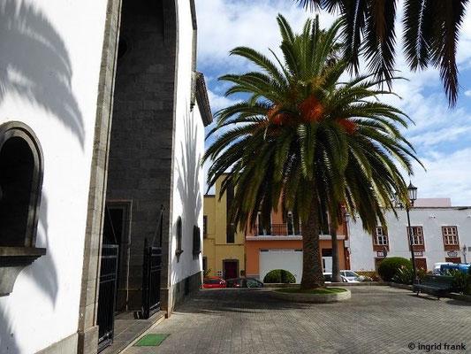 Phoenix canariensis - Kanarenpalme (vor der Kirche von Los Sauces)