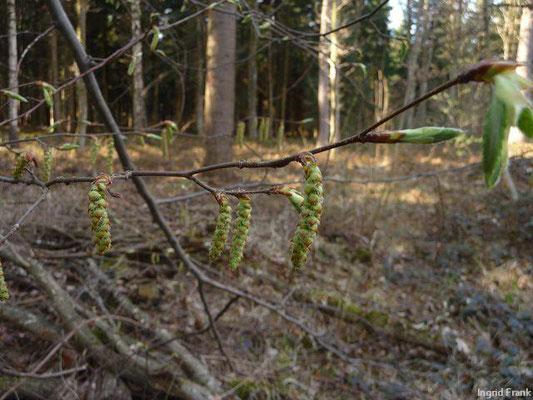 Carpinus betulus / Hainbuche