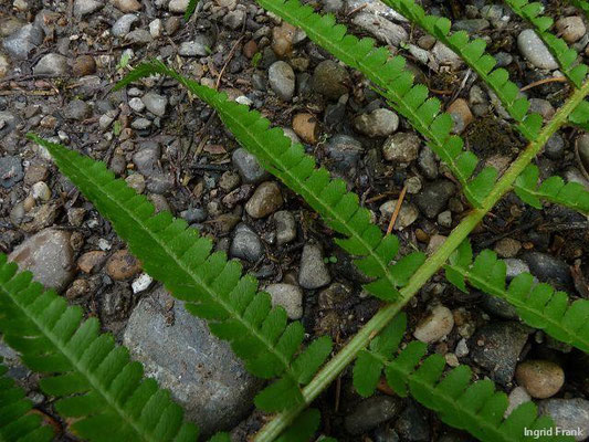 Dryopteris filix-mas agg. - Artengruppe Gewöhnlicher Wurmfarn