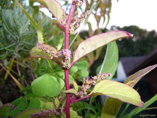 Chenopodium polyspermum - Vielsamiger Gänsefuß  (VII-IX)