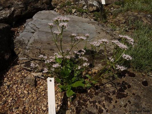 Valeriana saxatilis / Felsen-Baldrian    VI-VIII    (Botanischer Garten Dresden)