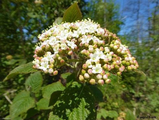 Viburnum lantana - Wolliger Schneeball
