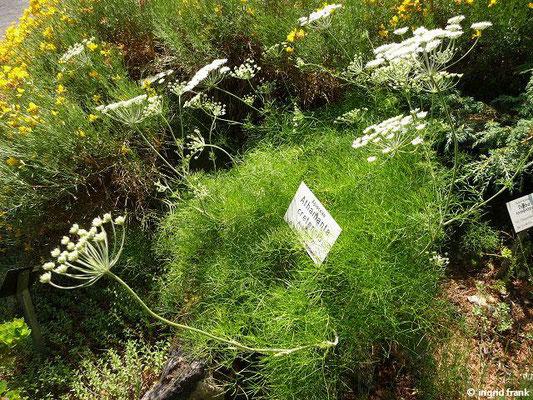 Athamanta cretensis / Augenwurz (Botanischer Garten Leipzig)