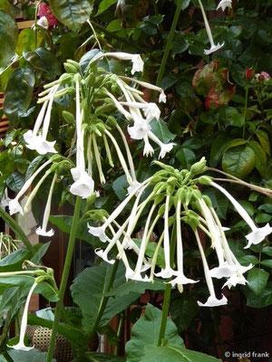 Nicotiana sylvestris - Wilder Tabak    VII-IX