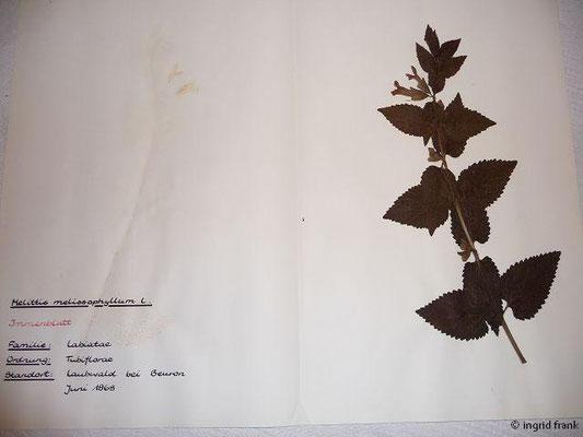 (99) Melittis melissophyllum - Immenblatt