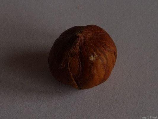 Corylus avellana - Haselnuss