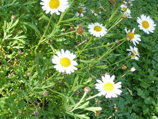 Argyranthemum frutescens - Strauchige Kanarenmargerite