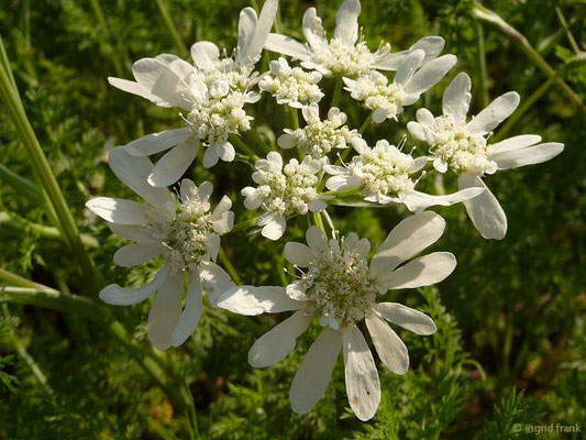 Orlaya grandiflora - Strahlen-Breitsame (Botanischer Garten Berlin)