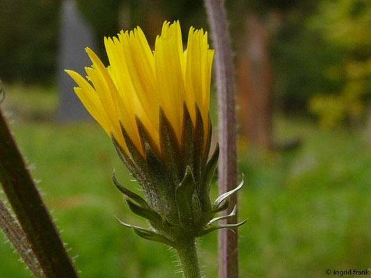 Picris hieracioides - Gewöhnliches Bitterkraut
