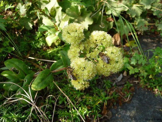 05.09.2010-Hylotelephium maximum - Große Waldfetthenne