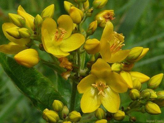 Lysimachia vulgaris / Gewöhnlicher Gilbweiderich