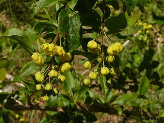 Berberis vulgaris - Gewöhnliche Berberitze, Sauerdorn