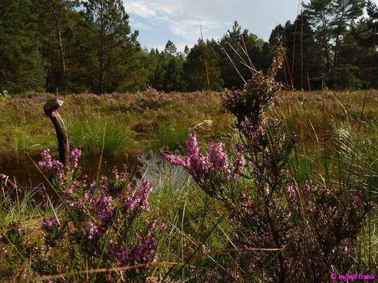 Heidekraut, Besenheide / Calluna vulgaris