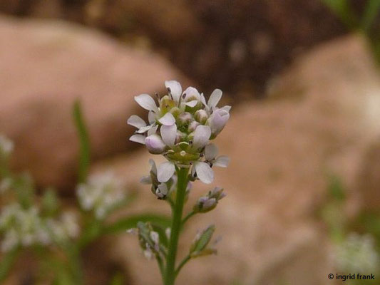 Lepidium sativum - Garten-Kresse