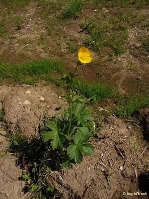 Ranunculus montanus / Berg-Hahnenfuß    IV-VII(-IX)