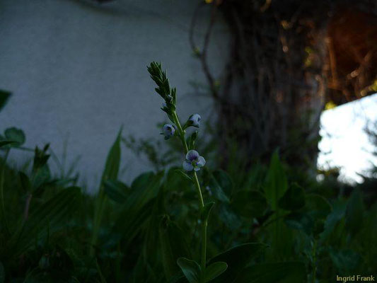 Veronica serpyllifolia / Quendel-Ehrenpreis    V-IX
