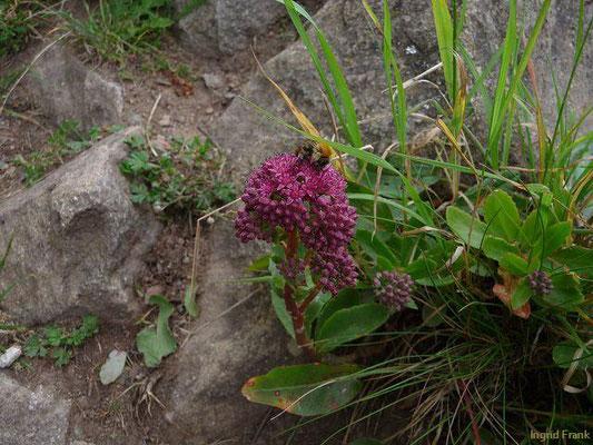 Hylotelephium telephium / Purpur-Waldfetthenne