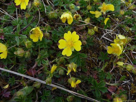 Potentilla neumanniana / Frühlings-Fingerkraut
